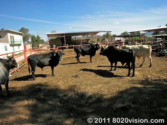 Cows at the dairy at Penon de los Banos farm cooperative, Mexico