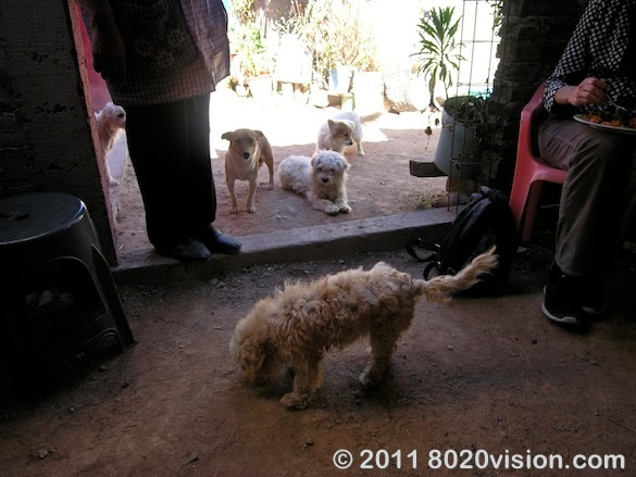 Farm dogs at Penon de los Banos farm cooperative, Mexico